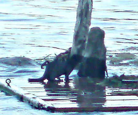 Otter on raft