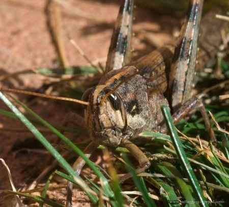 Grasshop-face