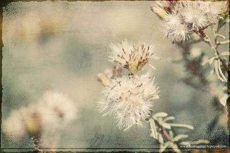 Faux-dandelion